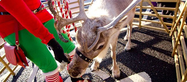 Hire a Reindeer for your Christmas event!